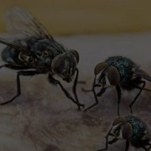 flies-mackay-pest-control