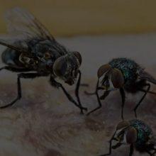 flies-mackay-pest-control