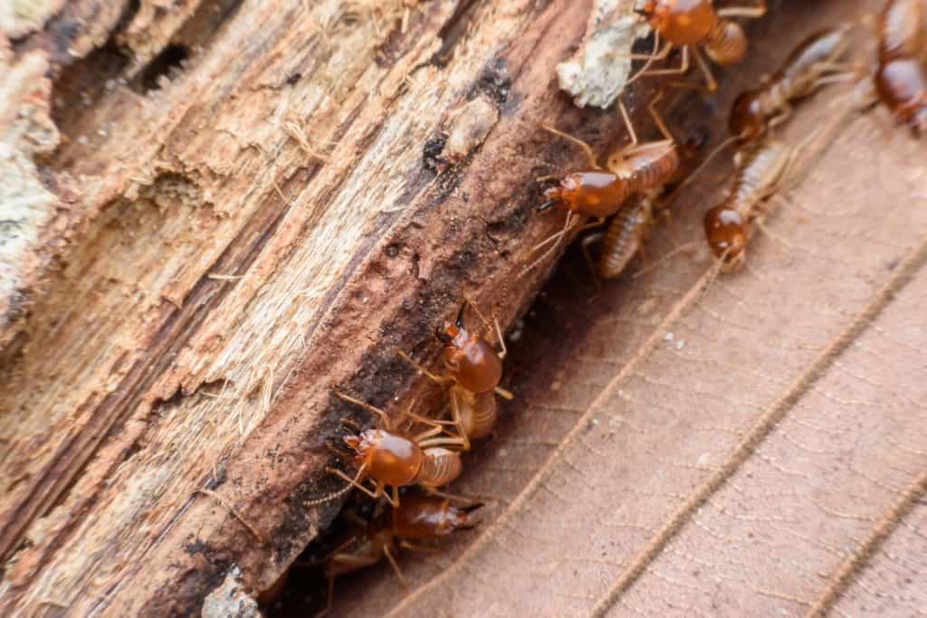 Termite management systems